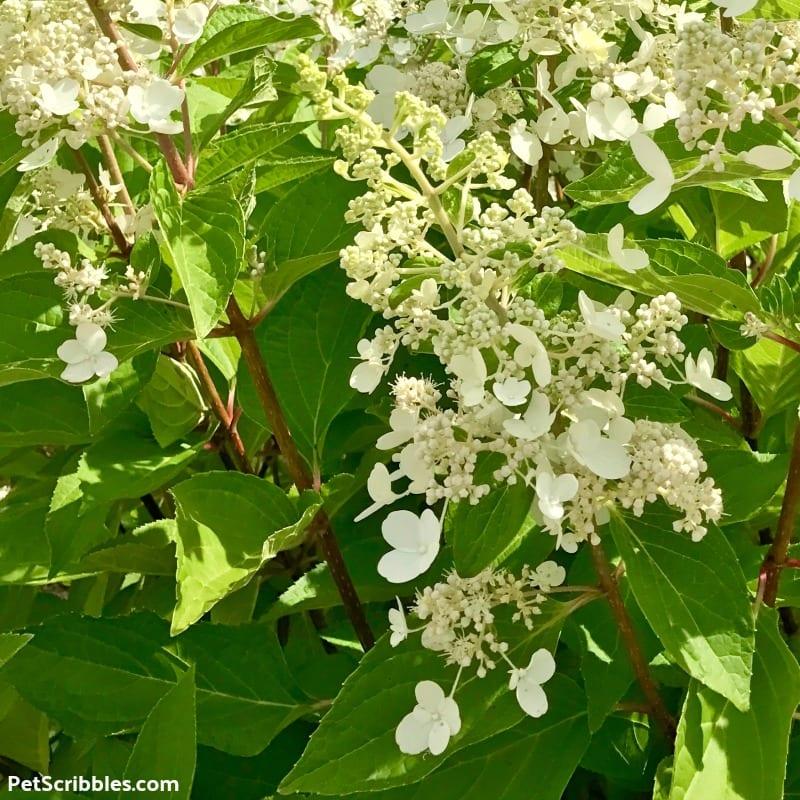 white Pinky Winky flowers in early Summer