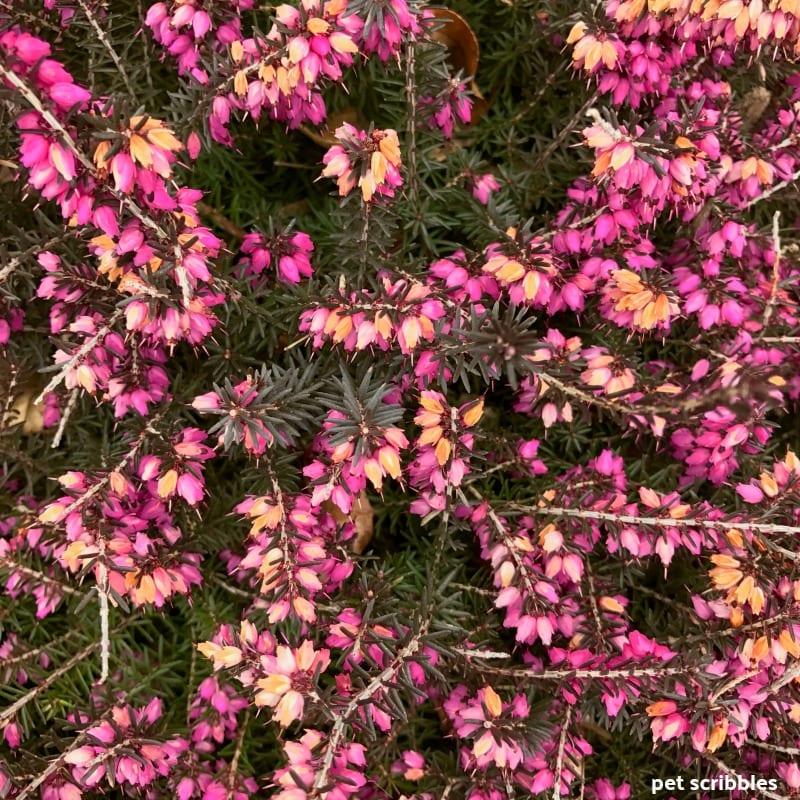 Kramer's Red Winter Heath in Spring as blooms begin to fade