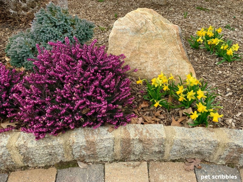 Kramer's Red Winter Heath and Tete-a-Tete Daffodils