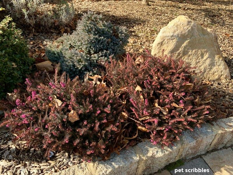 Kramer's Red Winter Heath beginning to bloom in January