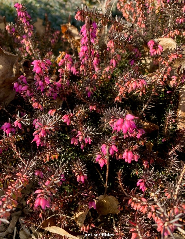 Kramer's Red Winter Heath blooming in Winter