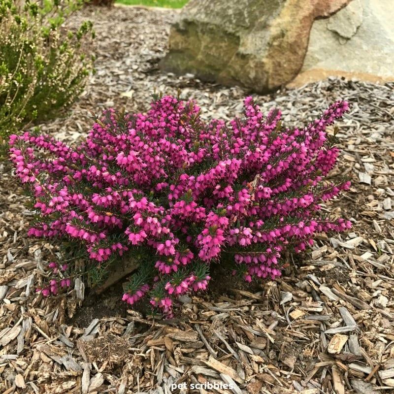 Kramer's Red Winter Heath flowering evergreen shrub