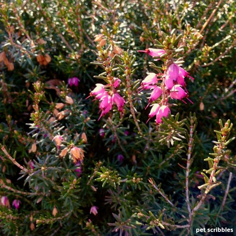 magenta bell-shaped flowers of Kramer's Red Winter Heath
