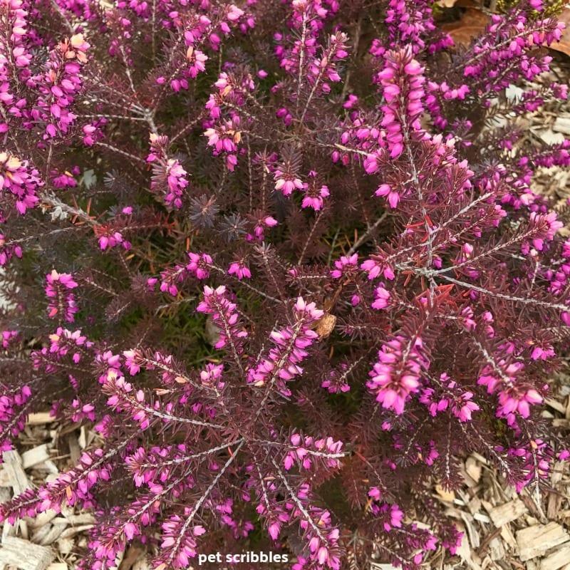 Kramer's Red Winter Heath needle-like foliage turns bronze in Winter