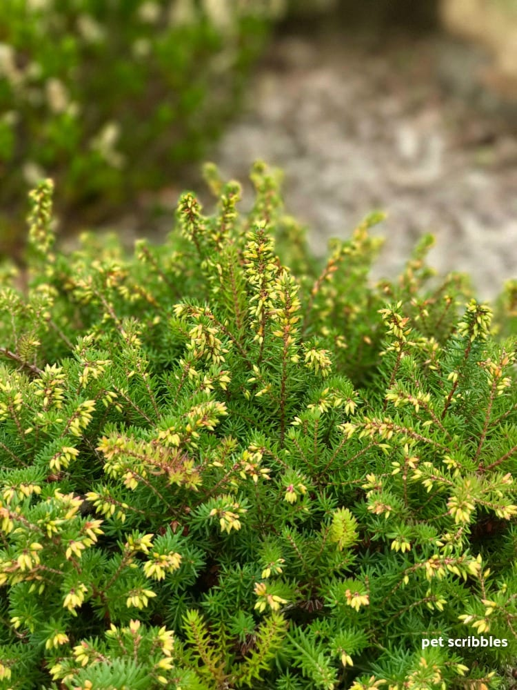 flower buds forming on Kramer's Red Winter Heath in August