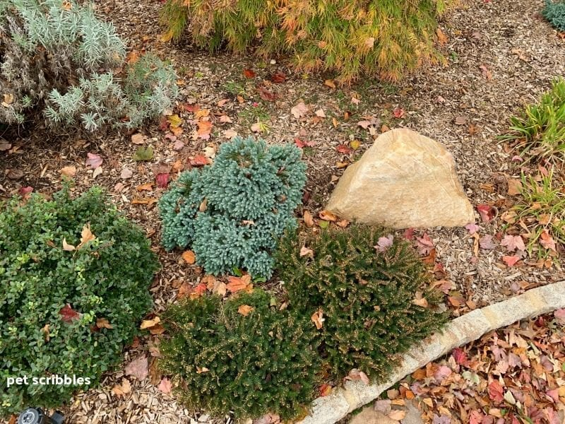 garden evergreens surrounded by colorful Fall leaves