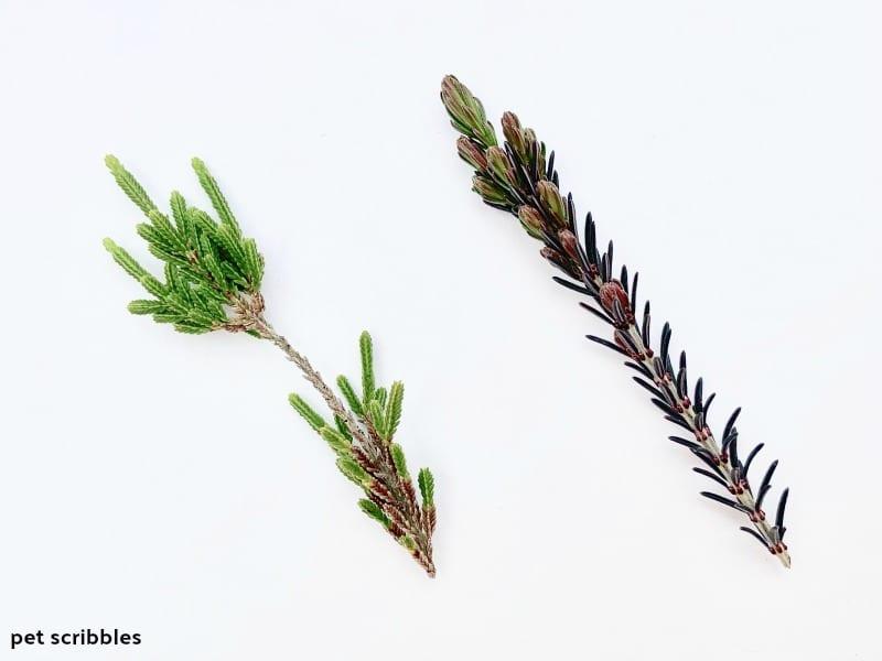 heather foliage versus heath foliage