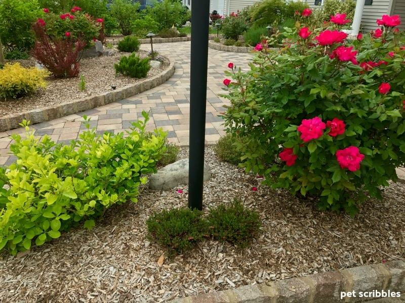 lamppost garden bed with blooming roses and evergreens