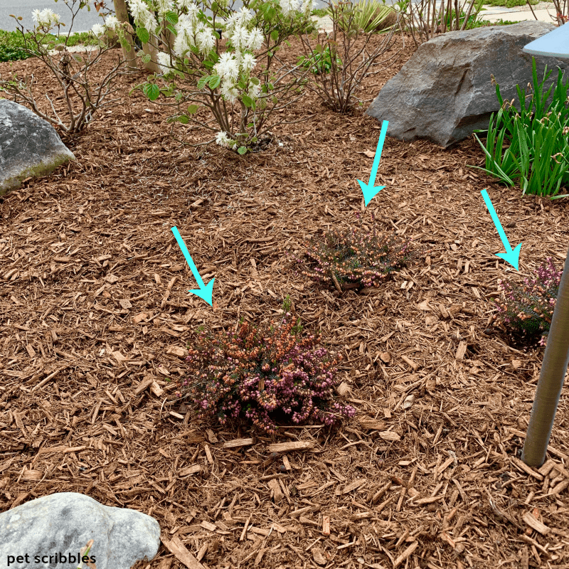 newly planted grouping of Kramer's Red Winter Heath