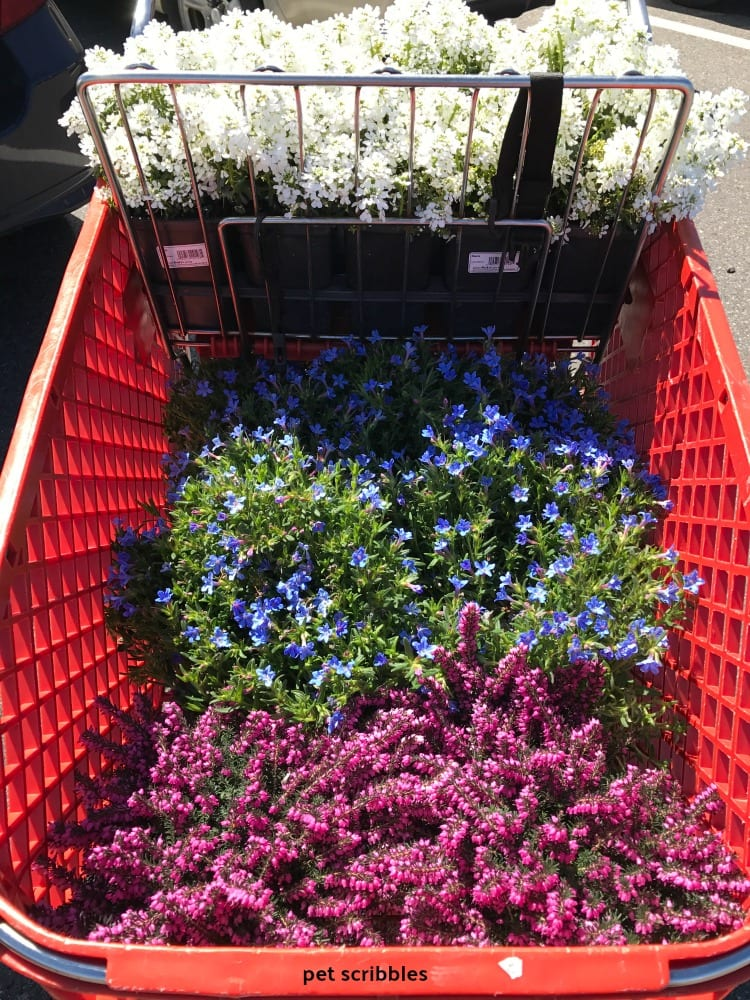 shopping cart full of flowers, Candytuft, Lithodora, Kramer's Red Winter Heath
