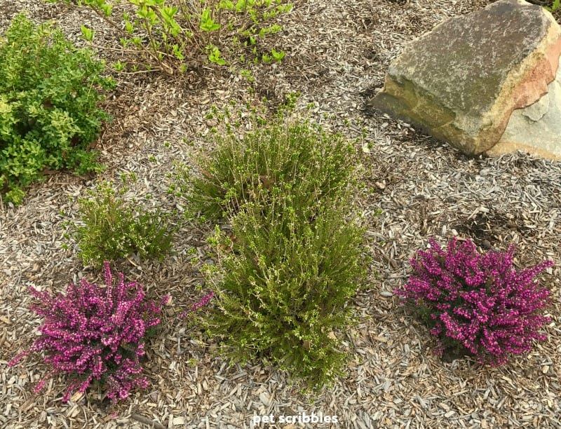 two magenta Kramer's Red Winter Heaths next to a White blooming Heather