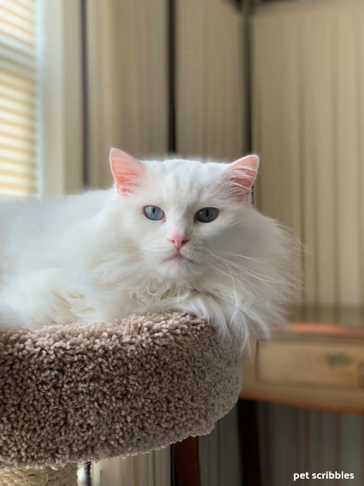 Otto the white ragdoll who is deaf