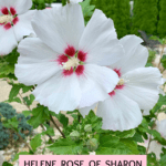 Helene Rose of Sharon: Non-Stop White Ruffled Flowers!