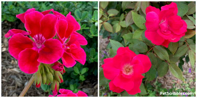 fuchsia garden flowers