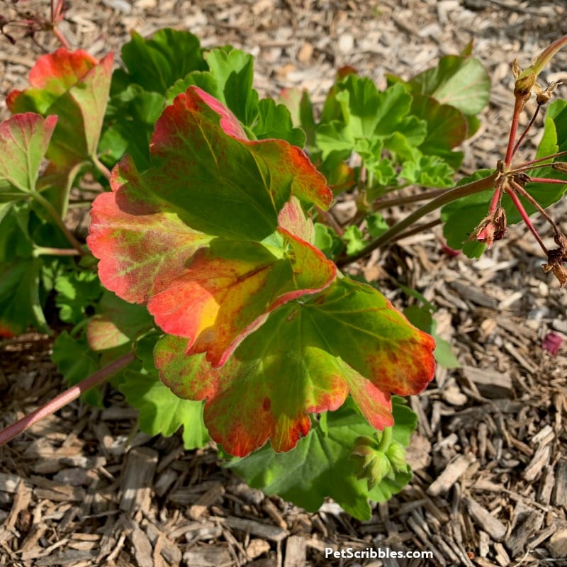 annual geranium with red leaves from too much water