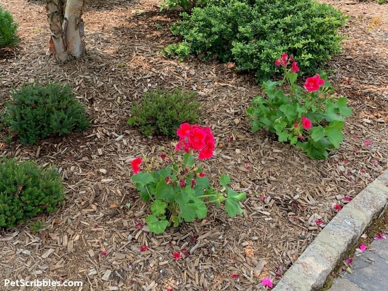 geraniums planted in a garden bed