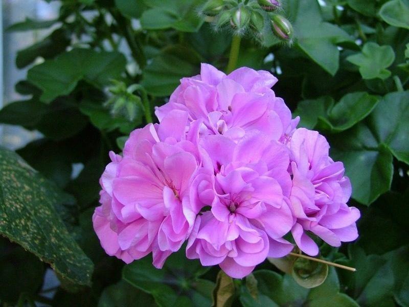 lavender pink geranium