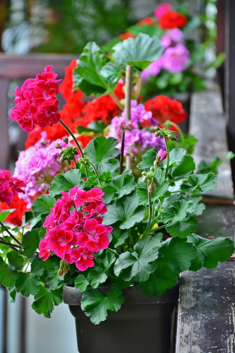 window box geraniums on a balcony