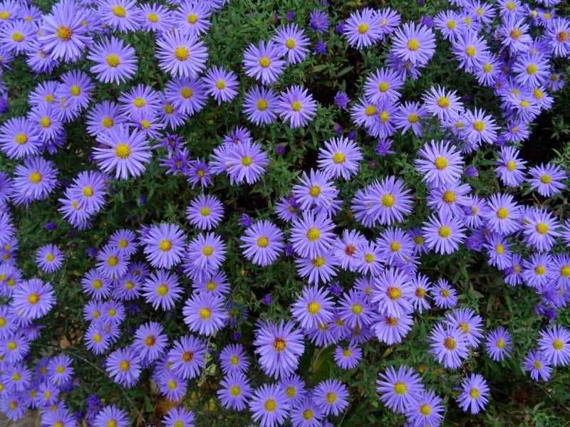 Purple Asters provide interesting Fall color in the garden