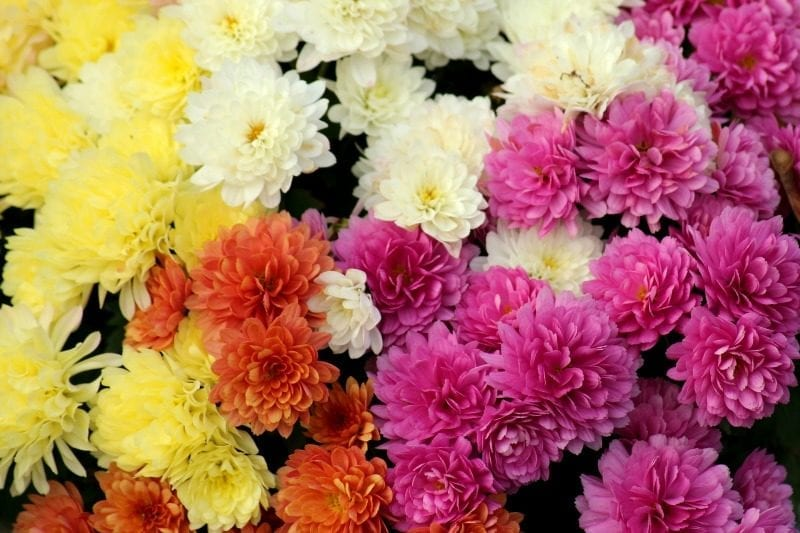Chrysanthemums (Mums) available in lots of colors