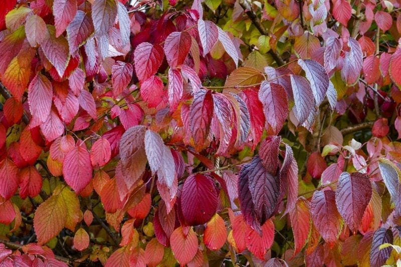 Red leaf color of a Dogwood tree in Fall