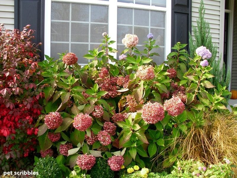 Endless Summer Hydrangeas rose pink Fall color
