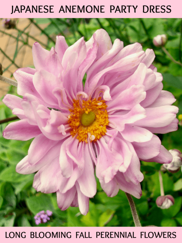 pink flowering Japanese Anemone Party Girl flowers