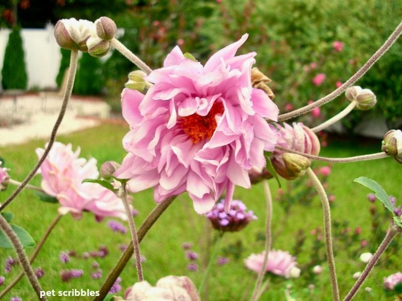 Japanese Anemone Party Dress flower opening up