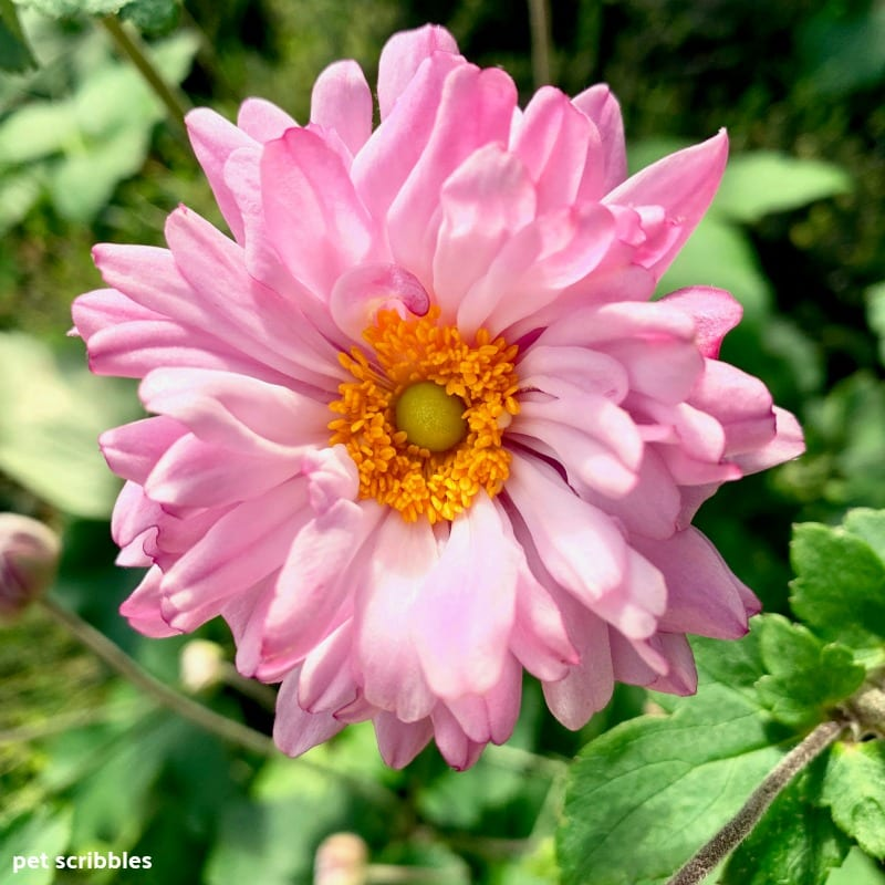 pink frilly flowers of Japanese Anemone