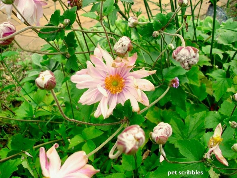 pink Japanese Anemone blooming in Fall