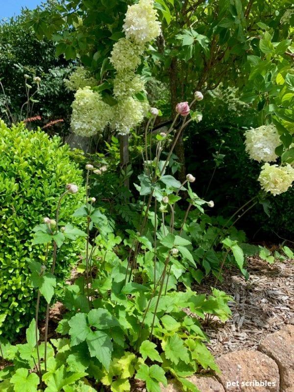 Japanese Anemone buds on long upright stems