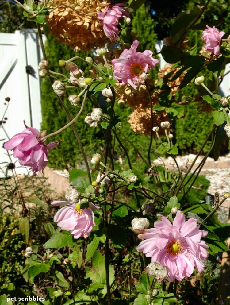 Party Dress Japanese Anemone flowers in late Fall
