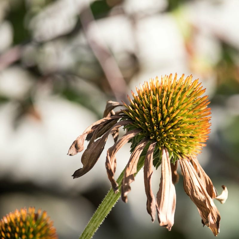 a dried coneflower's colorful center