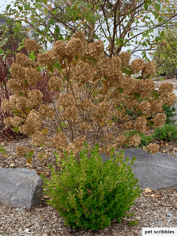 green boxwood and dried hydrangea flowers in Fall