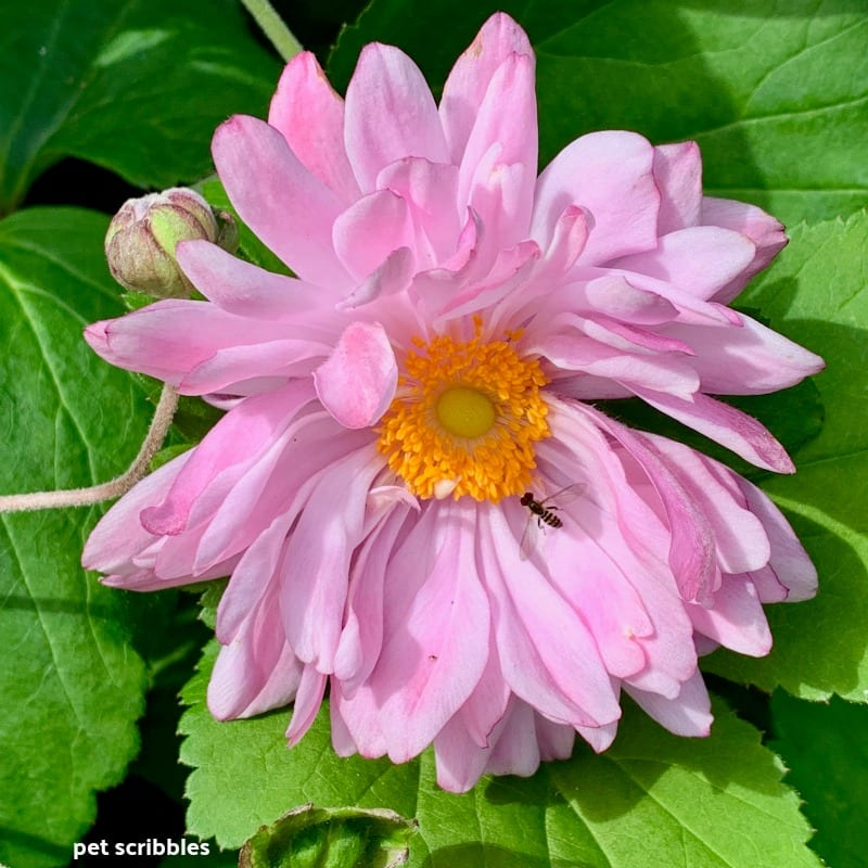 pink flowers of japanese anemone perennial