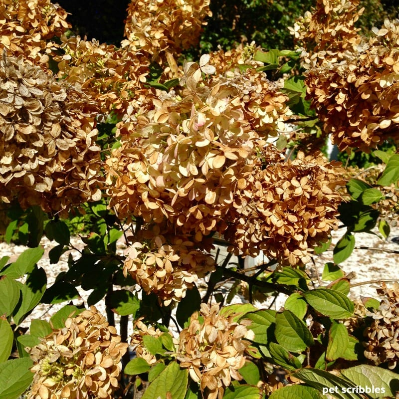 Limelight Hydrangea Tree dried flowers in Fall