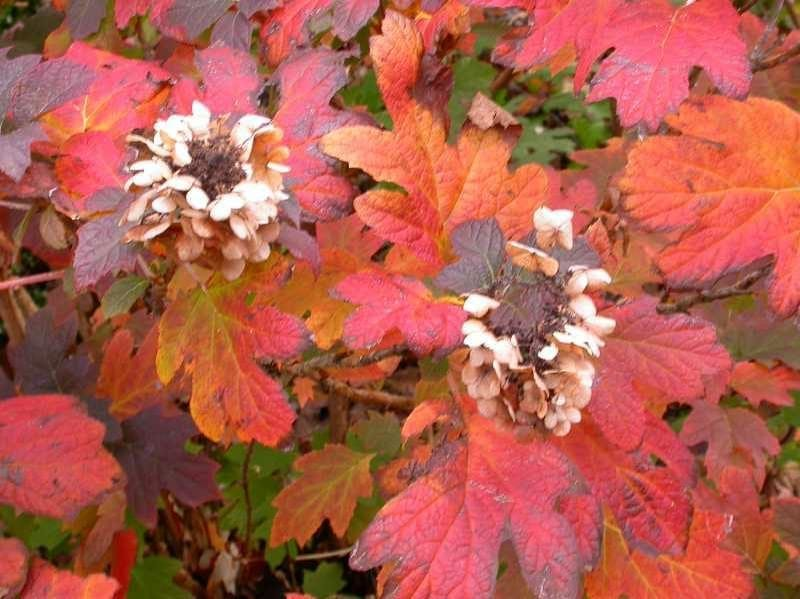 oak leaf hydrangea red fall leaves