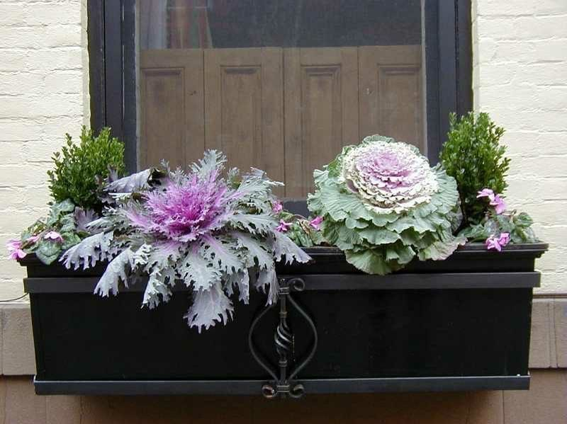 ornamental cabbage and kale in window box