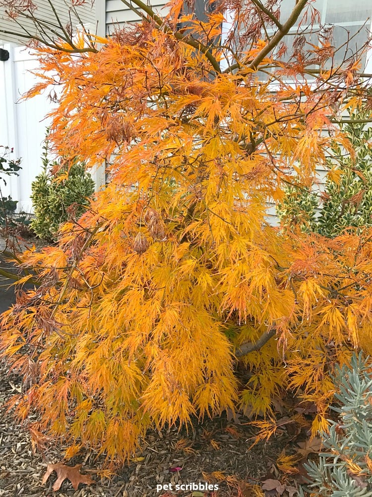 Ornamental Maple leaves orange Fall color