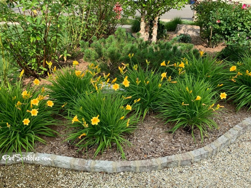Stella D'Oro Daylilies blooming in June