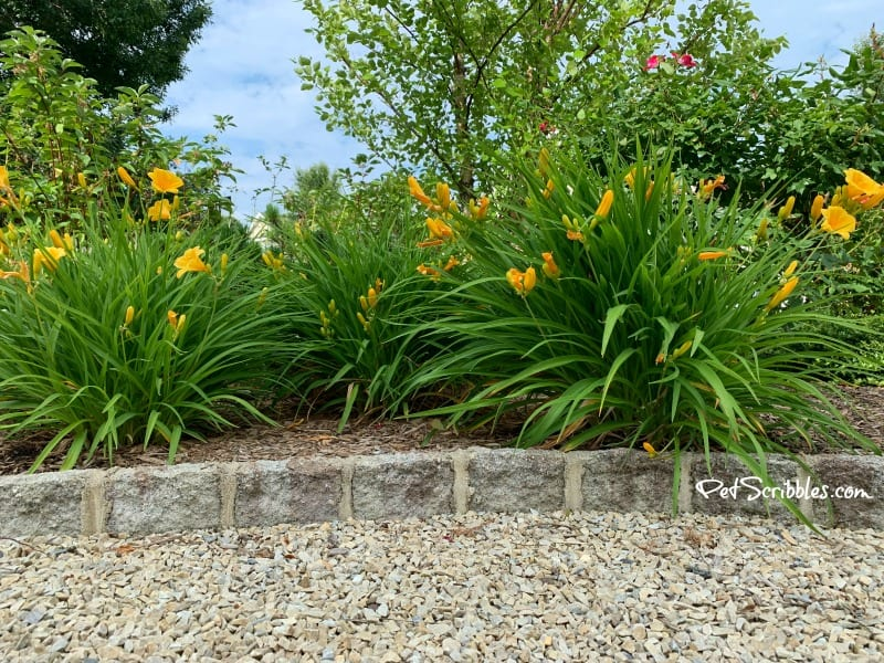 Stella D'Oro Daylilies blooming in Summer