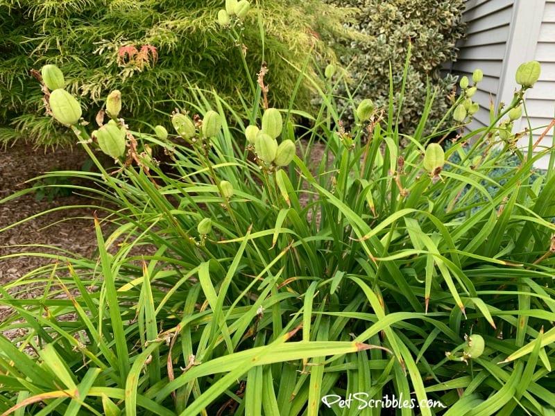 Stella D'Oro Daylily seed pods
