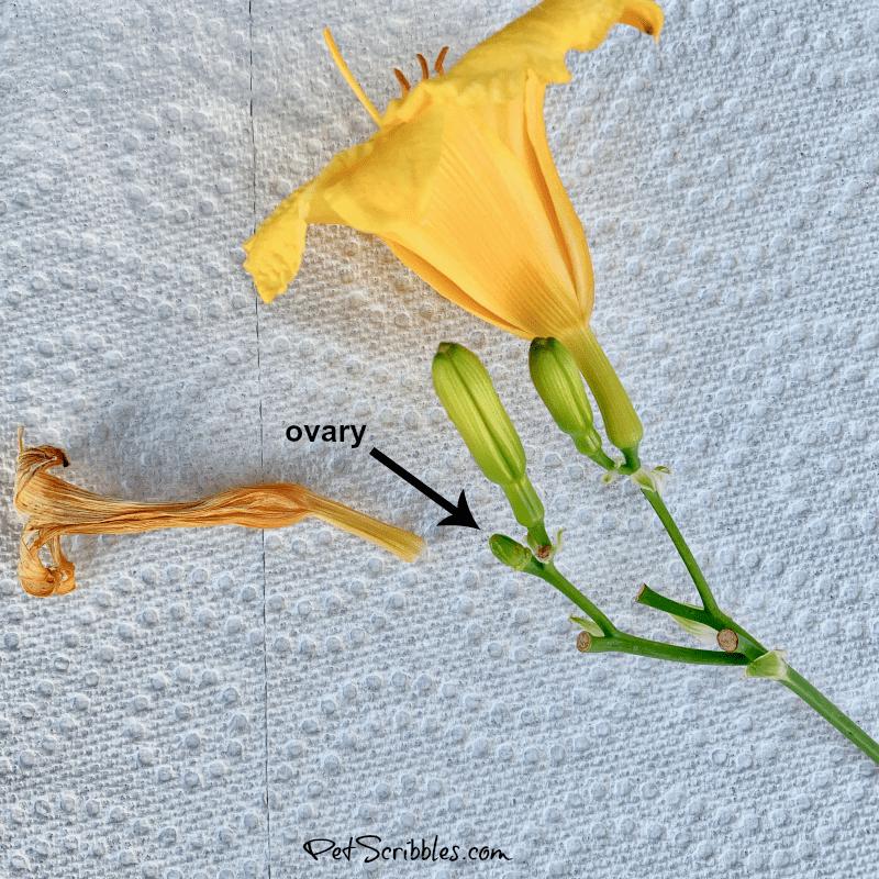 deadheading Stella D'Oro daylilies