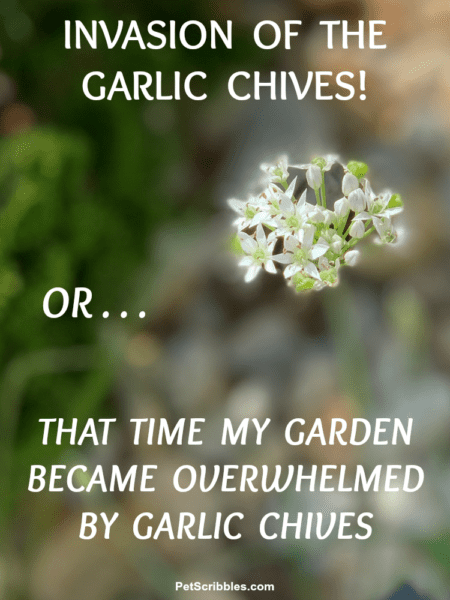 garlic chives invasion