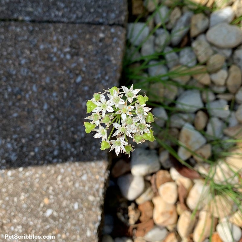 garlic chives white flower