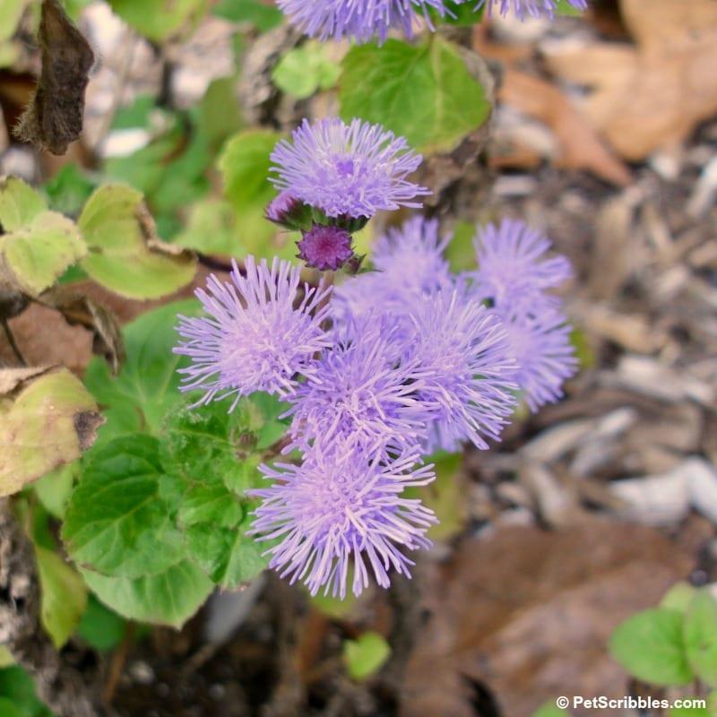 hardy ageratum blue mist flowers