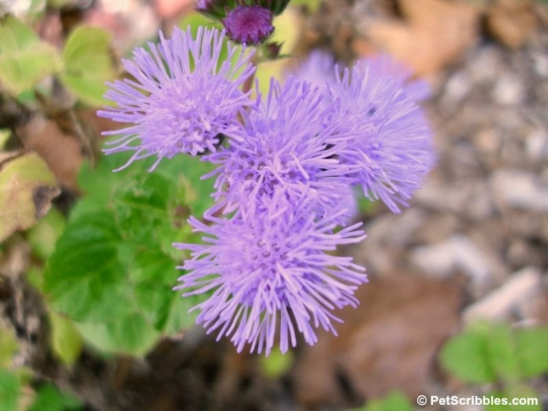 hardy ageratum flowers