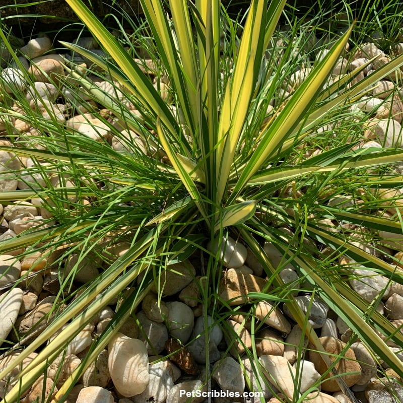 yucca plant surrounded by garlic chives