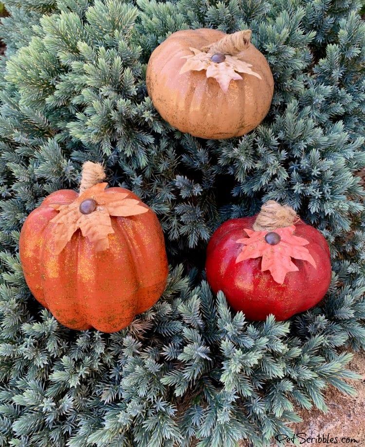Blue Star Juniper shrub with small pumpkins