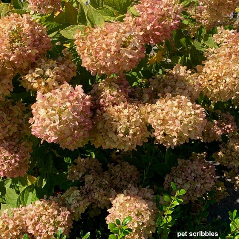 Fall blooms on Little Lime Hydrangea